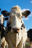 Comment suivre les bovins