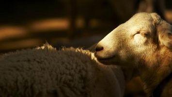 Comment Sheer un mouton