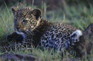 Leopard Cub Faits