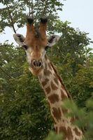 A été l'Sauropod liés à la girafe?