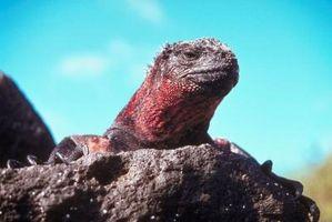 Le cycle d'iguanes marins de vie