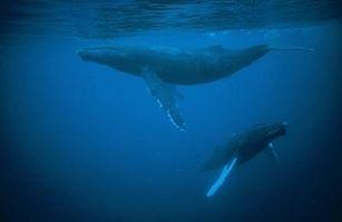 Comment dessiner une baleine pour les enfants