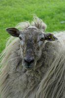 Comment tondre un mouton avec des ciseaux à la main