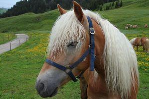 Quel type de Avoine Devrais-je nourrir mon cheval?