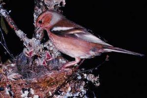 Comment identifier les oiseaux: pinsons sauvages