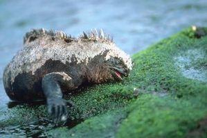 Qu'est-ce que les iguanes marins Mangez