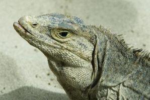 Que dois-Désert iguanes Eat?
