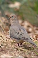 Comment nourrir les oiseaux sauvages et Doves
