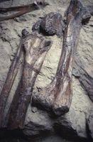 Comment chercher des fossiles de dinosaures