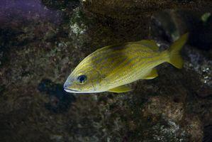 Le système de reproduction des poissons