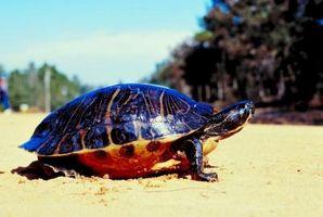 Informations sur les petites tortues peintes dans l'Ohio