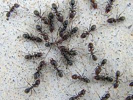 Informations sur grosses fourmis noires