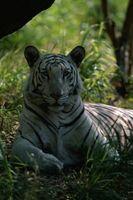 Quelles sont les trois caractéristiques du Tigre Blanc?