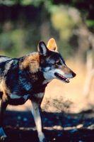 Red Wolves et les raisons pour lesquelles ils ont été chassés