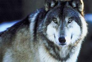 Gray Wolf Caractéristiques et Adaptations