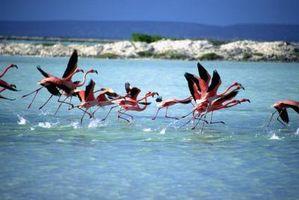 Que font les Flamants des Caraïbes Faire leur nid Out Of?