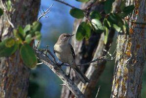 Types de Mockingbirds