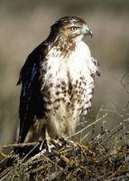 Différentes espèces de faucon Oiseaux