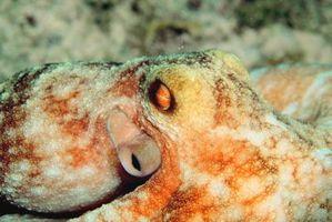 Sept Classifications d'une Octopus