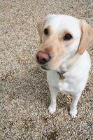 Comment former des chiens pour les personnes handicapées dans le Rhode Island