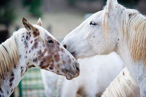 Signes et symptômes de problèmes de foie chez les chevaux