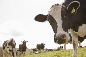 Signes et symptômes de la rage chez les bovins