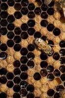 Utilisations pour les nids d'abeilles des abeilles