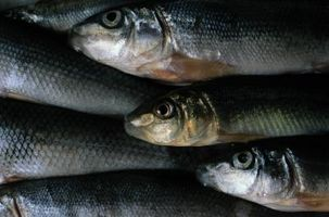 Comment nourrir eau douce poissons-appâts ménés