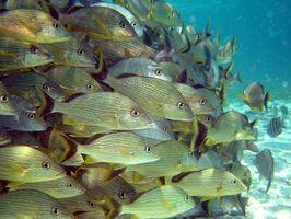 Comment les poissons nagent dans les écoles?