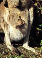 Quelle est la signification de «Marsupial '?