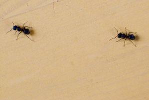 Cures pour les petites fourmis à la Chambre