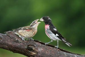 Quel est le régime des oiseaux chanteurs?