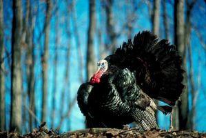 Comment identifier Plumes Turquie