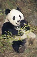 Faits sur le grand panda ours pour les élèves du primaire de grade