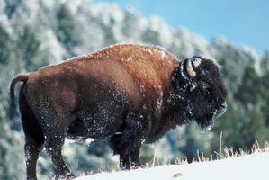 Comment élever Bison