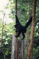Quel est le mutualisme d'un Spider Monkey?