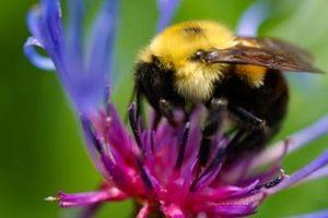 Que abeilles font des nids dans les arbres?
