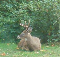 Homemade RSS Deer