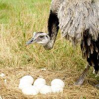 Comment faire éclore Emu & Autruche Oeufs