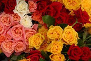Comment organiser une réception pour les Roses