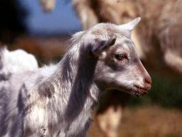Signe une chèvre est Kidding