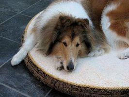 Quels sont les traitements pour Pied Fungus & levure dans Canine Paws?
