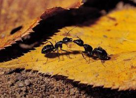 Ce qui attire les fourmis noires?