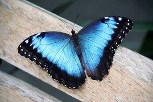 A propos de la Morphus Blue Butterfly