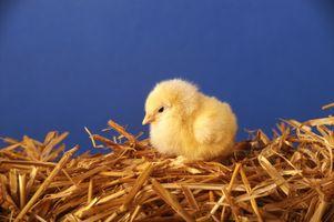 Comment faire votre propre abreuvoirs pour poulets Out of recyclables