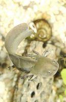 Que dois-à ventre gris Salamandres manger?