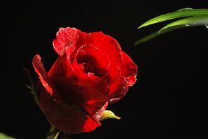 Red Rose Centerpiece Idées