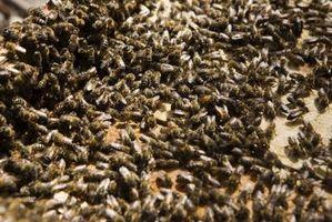 Comment tuer un Beehive