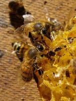 Comment puis-je installer une reine des abeilles?