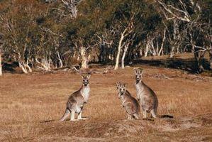 Activités et les kangourous, des enfants